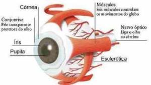 Anatomia do olho! Entenda como ele funciona